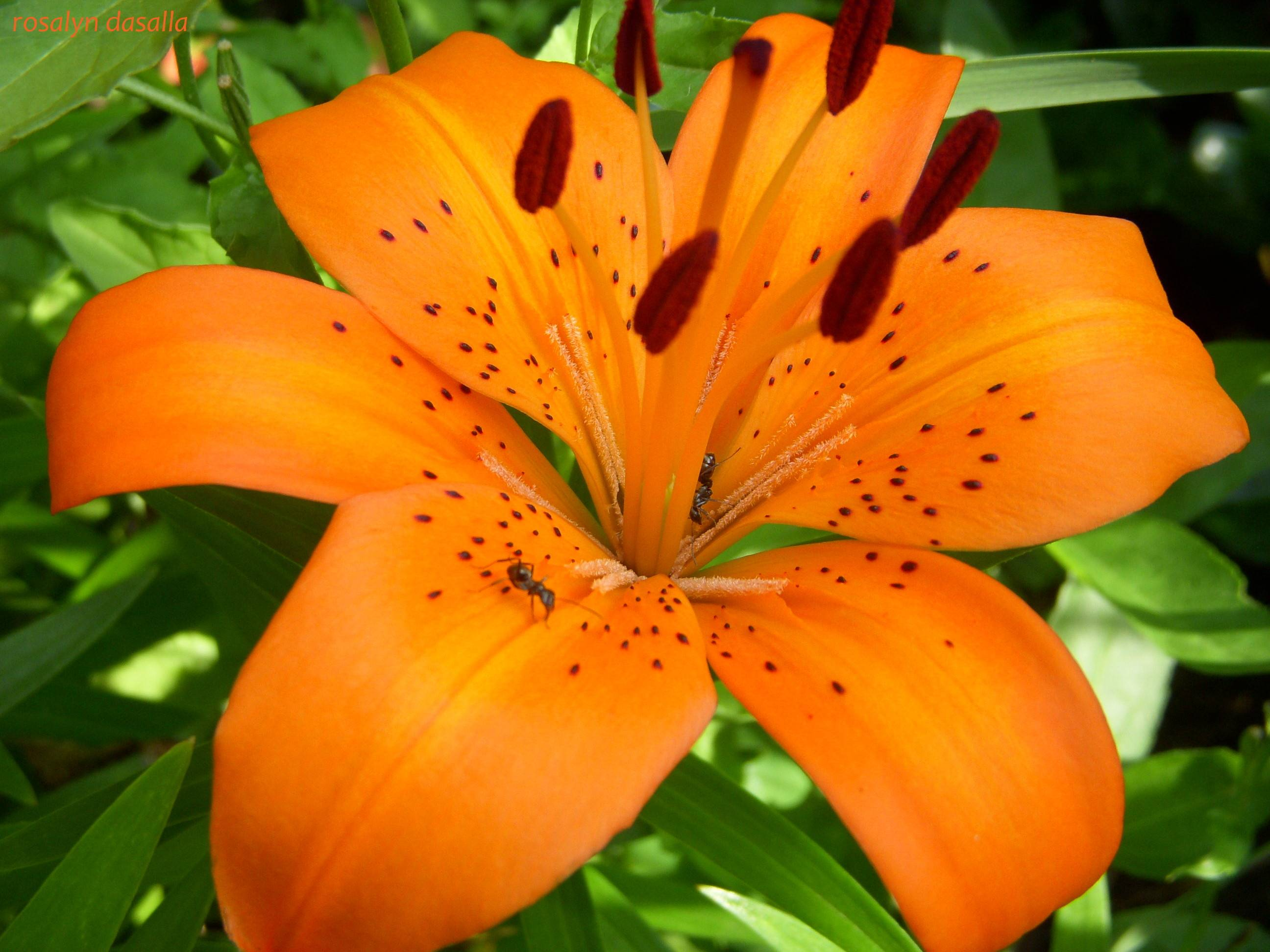 Picture Of Tiger Lily, Wallpapers, HD Wallpapers, Picture Of Tiger