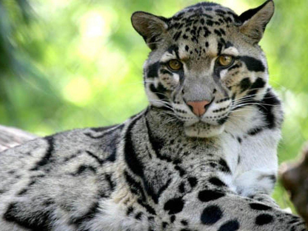 clouded leopard wallpaper - photo #15