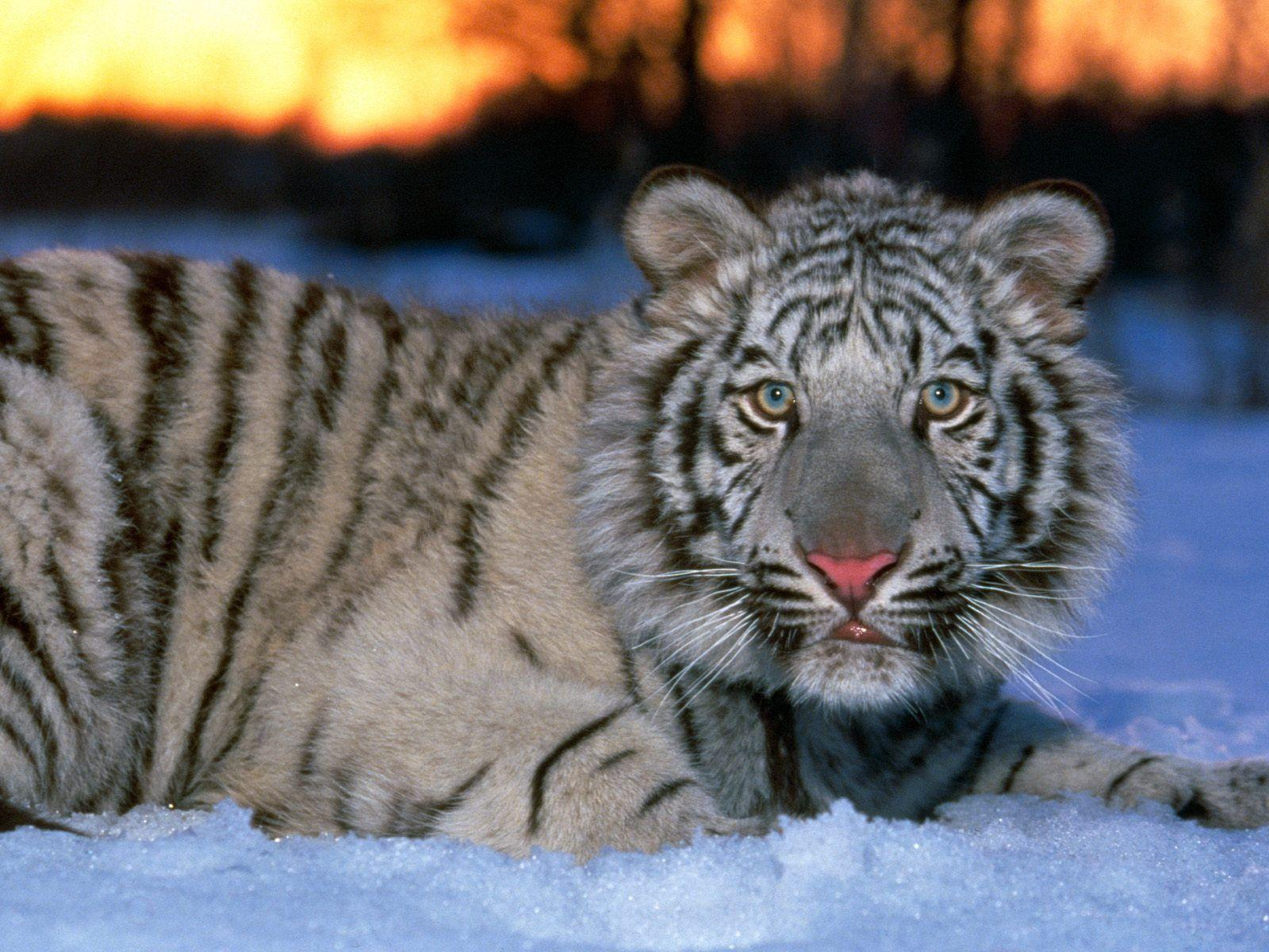 White Tiger Cub Wallpapers Wallpaper Cave