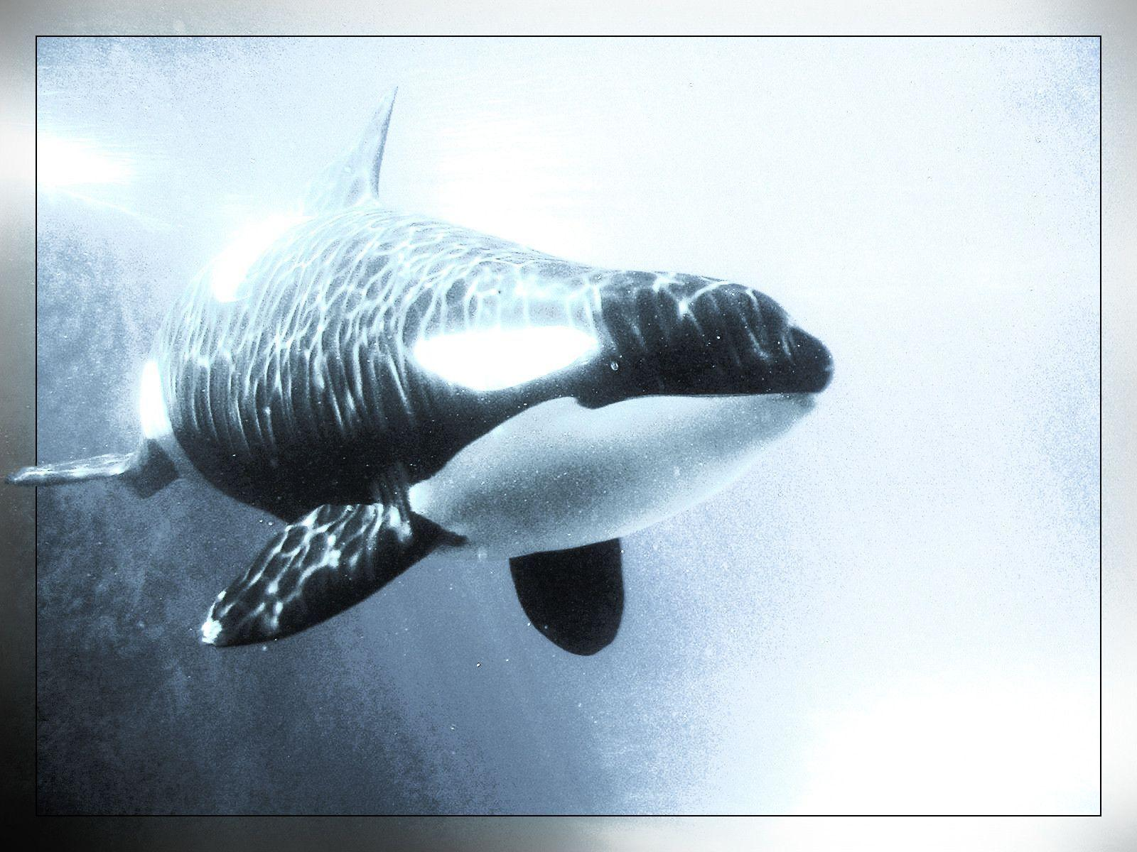 shamu' Whales Killer Animals Orca wallpaper #
