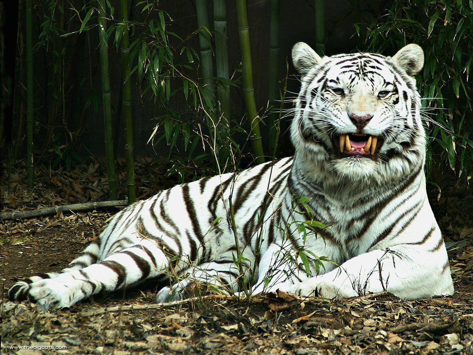 White Tiger Live Wallpapers Free