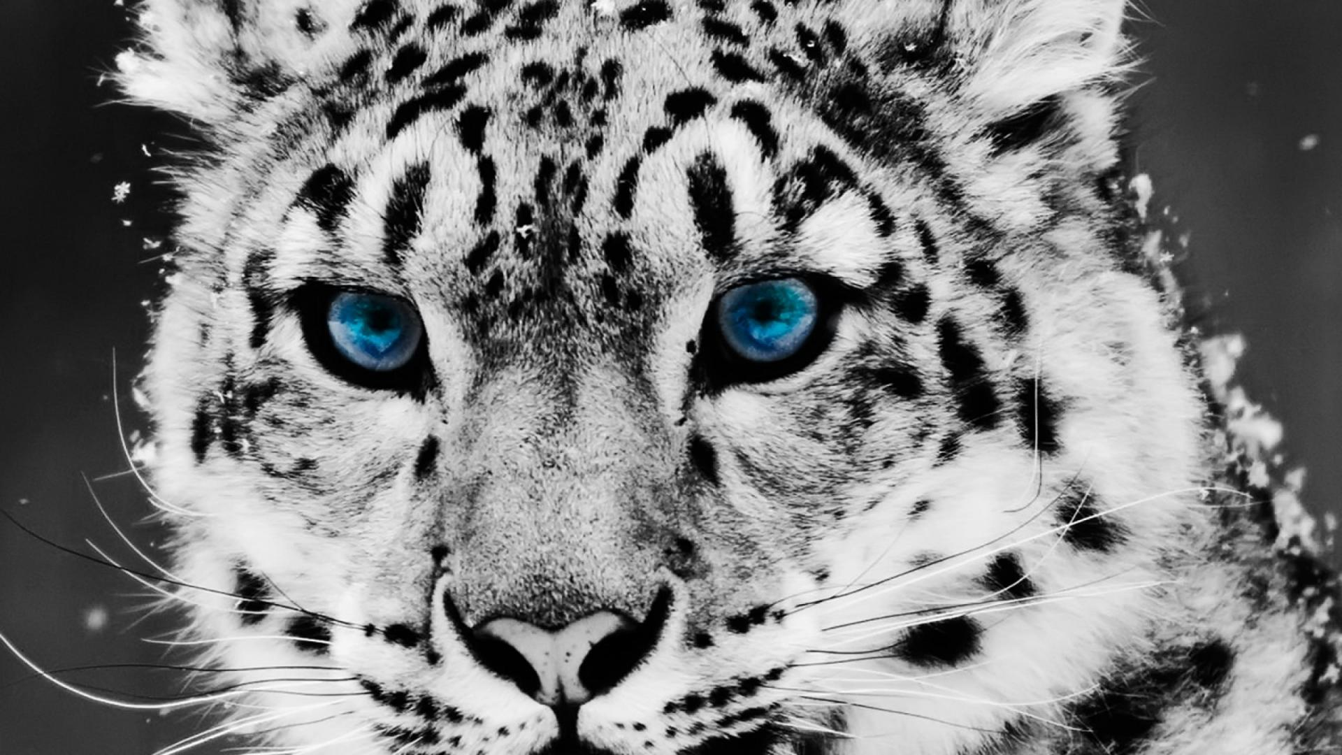 White Leopard Wallpapers - Wallpaper Cave