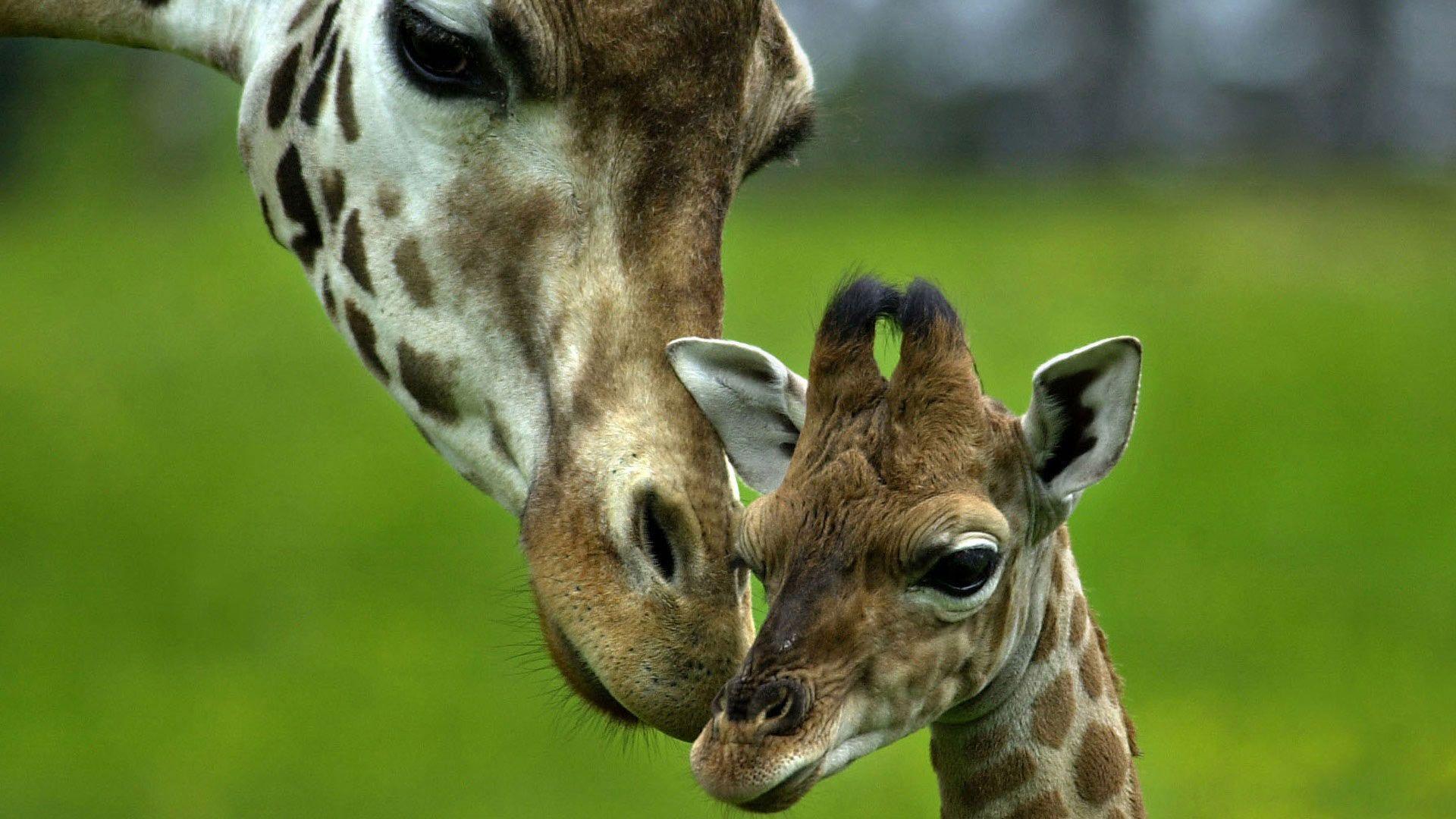 Giraffe Desktop Backgrounds - Wallpaper Cave