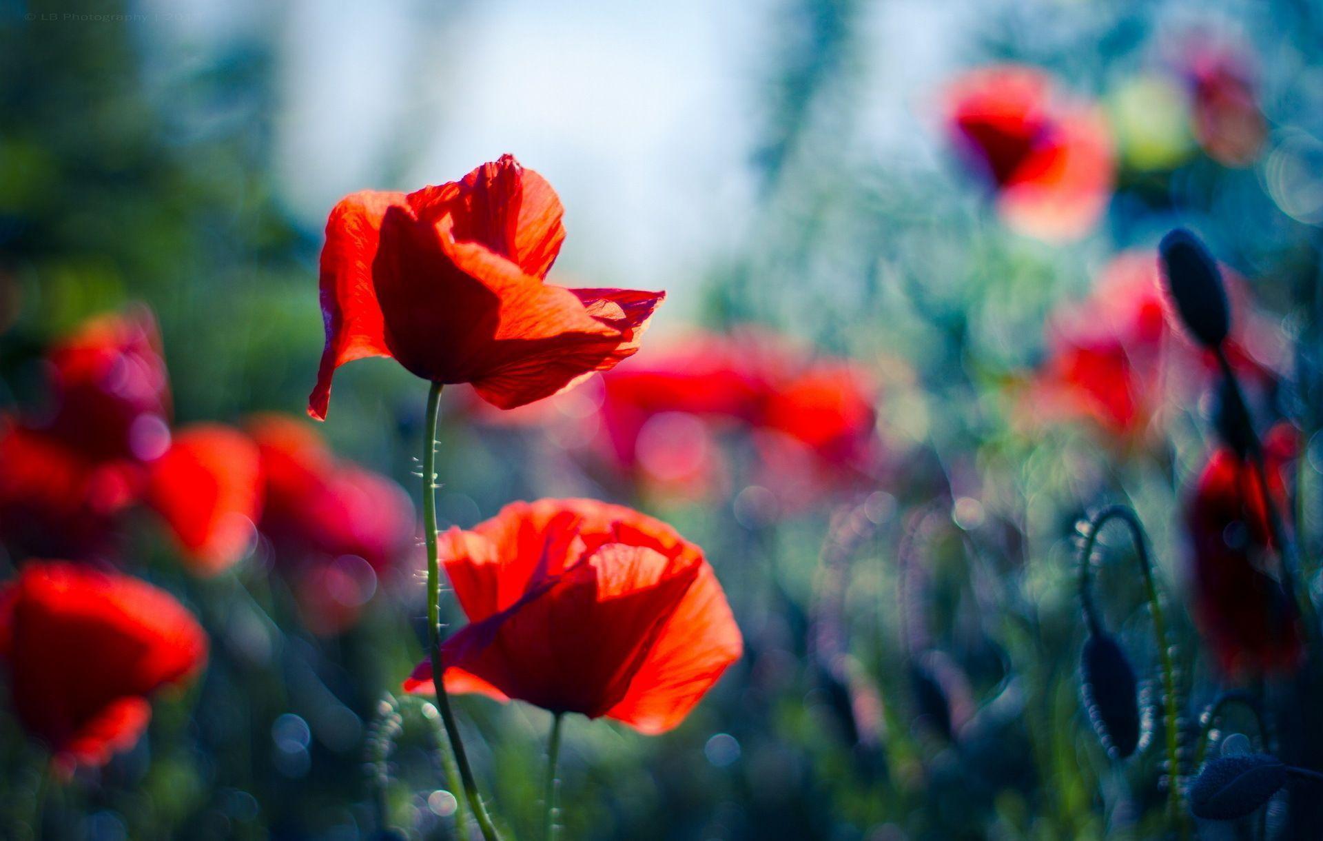 poppy red background - photo #2