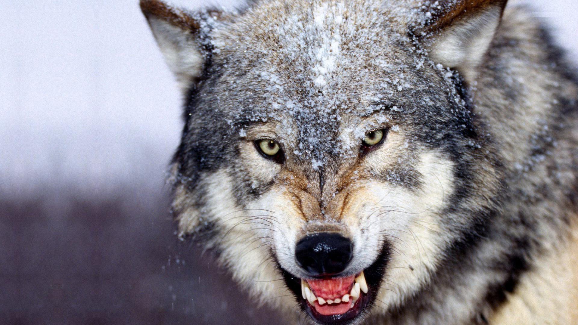 Wolf Wallpaper for My Desktop