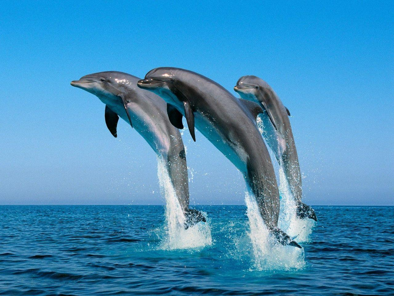 Free Dolphin Wallpapers For Desktop