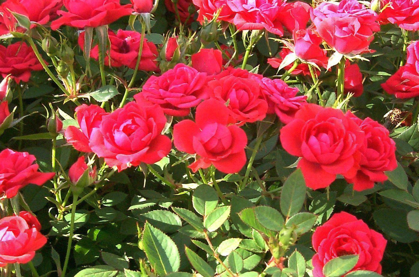 Beautiful Rose Garden Wallpapers Best Design 1117669 Inspiration