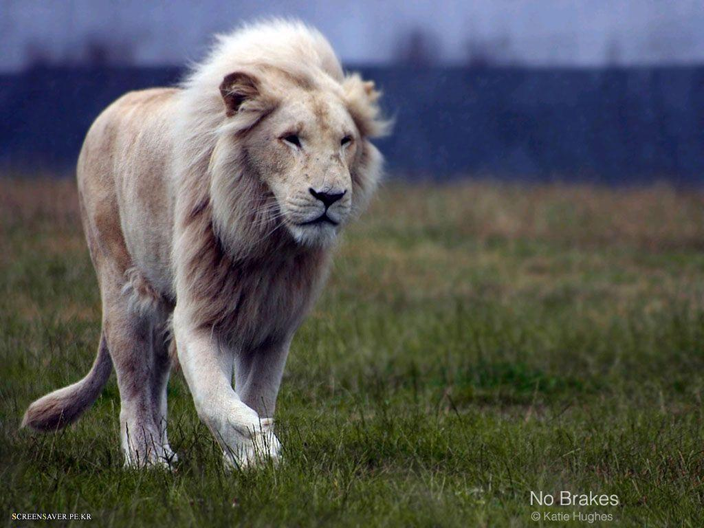 wallpapers white lion wallpaper cave