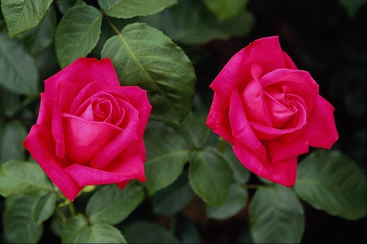 Rose Flower Wallpapers Wallpaper Cave