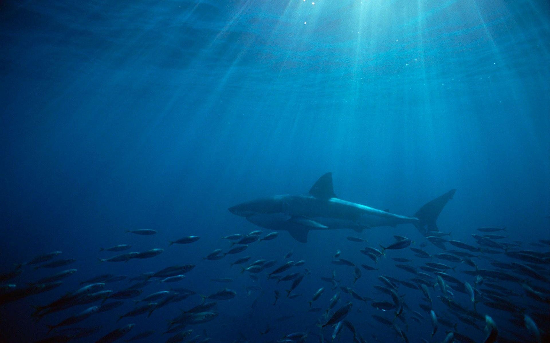 great white shark wallpapers hd wallpaper cave
