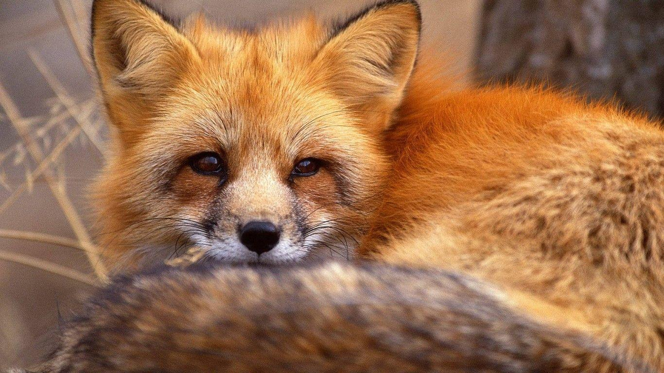 Red Fox Wallpaper - Animal Backgrounds