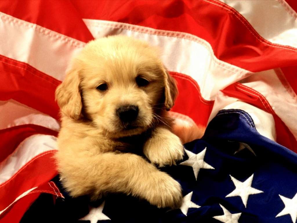 Desktop Wallpapers · Gallery · Animals · American Puppy