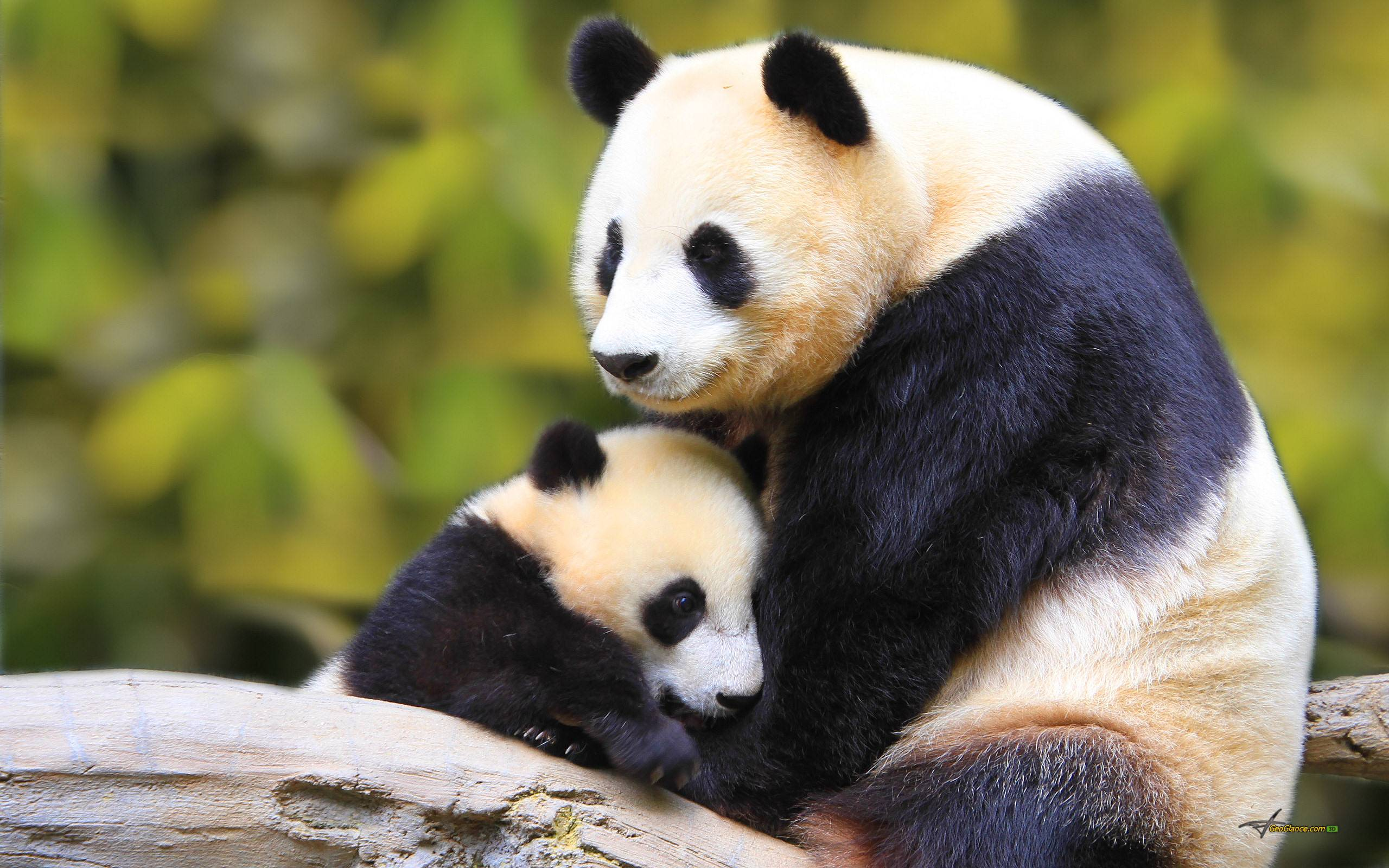 Panda Wallpapers Adorable Panda Photos HQ Definition