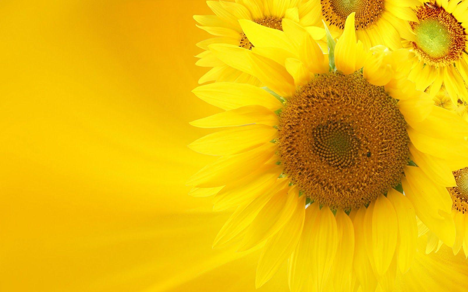 Yellow Sunflowers Wallpaper Photography #11779 Wallpaper ...