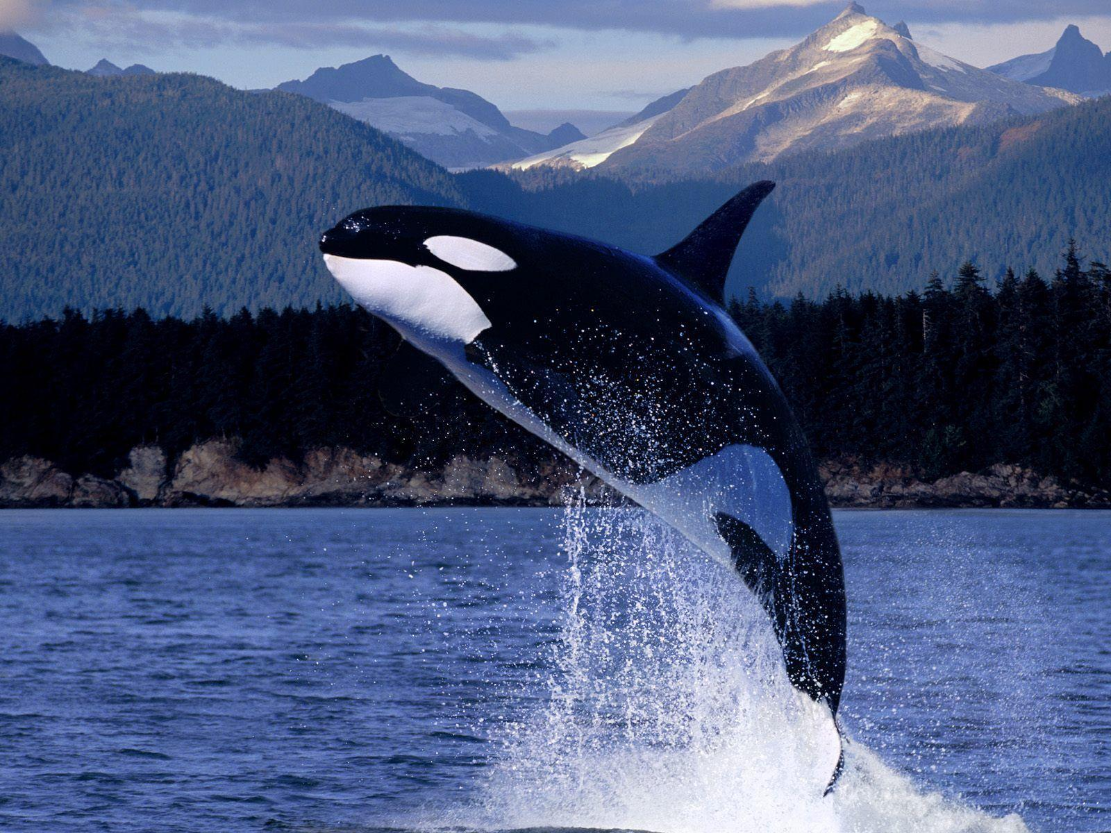 Orca HD wallpaper - Animal Backgrounds