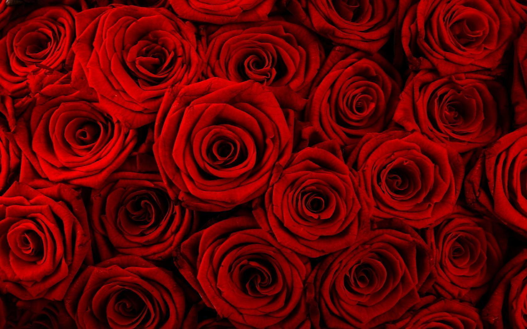 Red rose flower backgrounds wallpaper cave - Red rose flower hd images ...