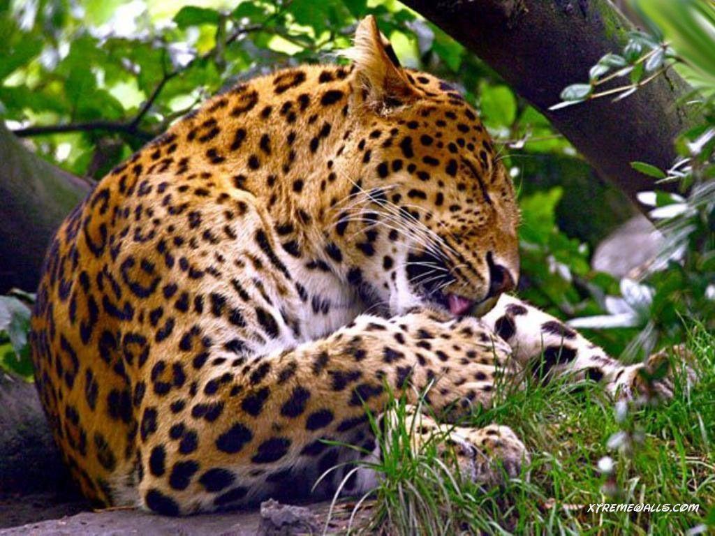 Wild Cats Wallpapers - Wallpaper Cave