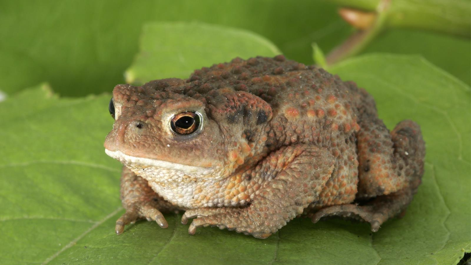 Image For > Toad Animal