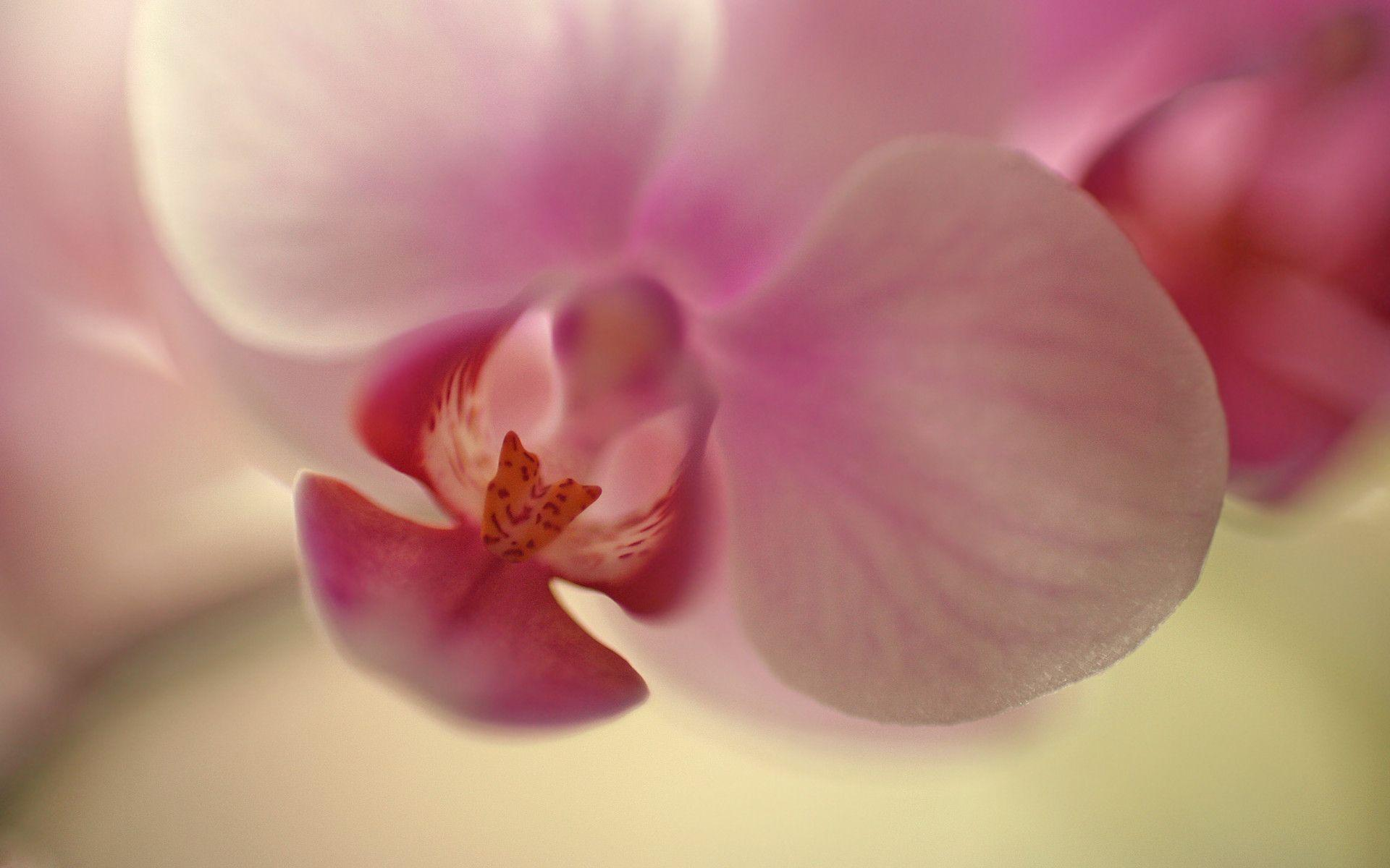 orchid wallpapers backgrounds images - photo #15