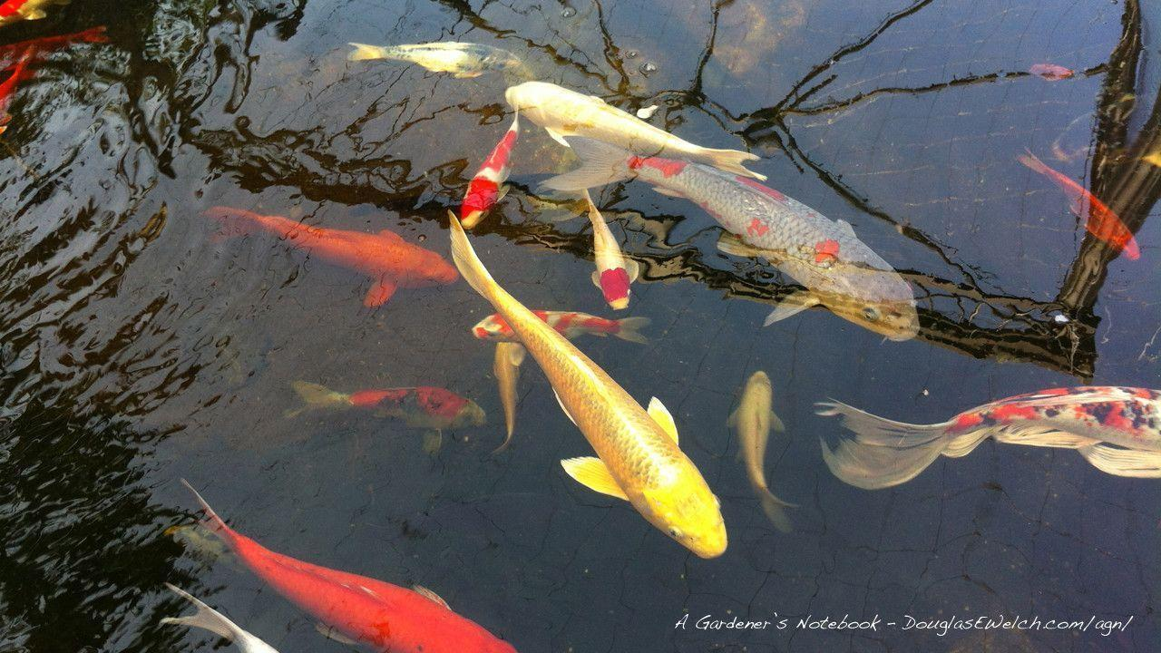 Koi pond wallpapers wallpaper cave for Koi pond motors