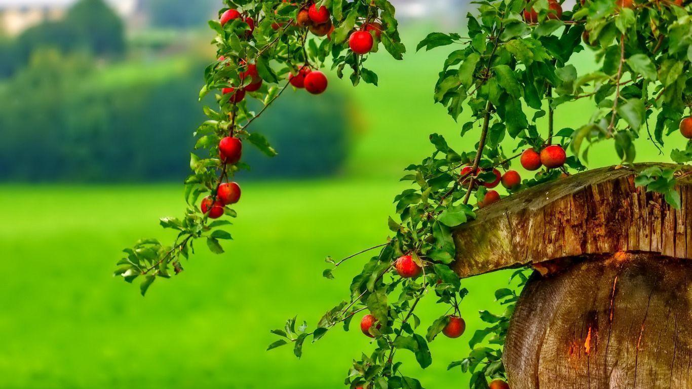 Apple tree wallpapers wallpaper cave for Tree wallpaper