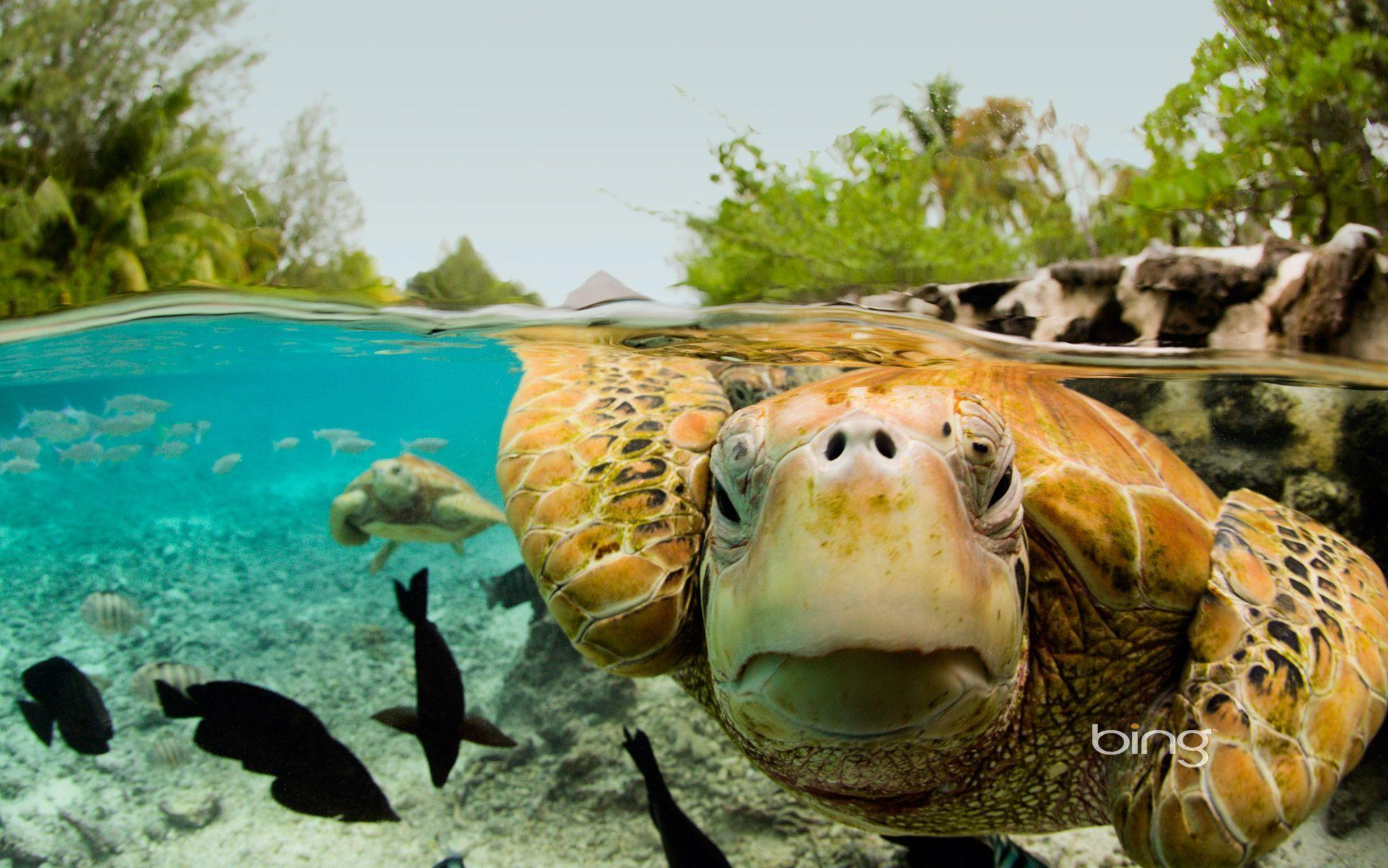 Green Sea Turtles in Bora Bora