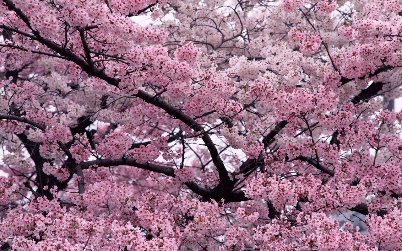 Sakura Flower With 1280x800 Resolution Wallpaper Logo And