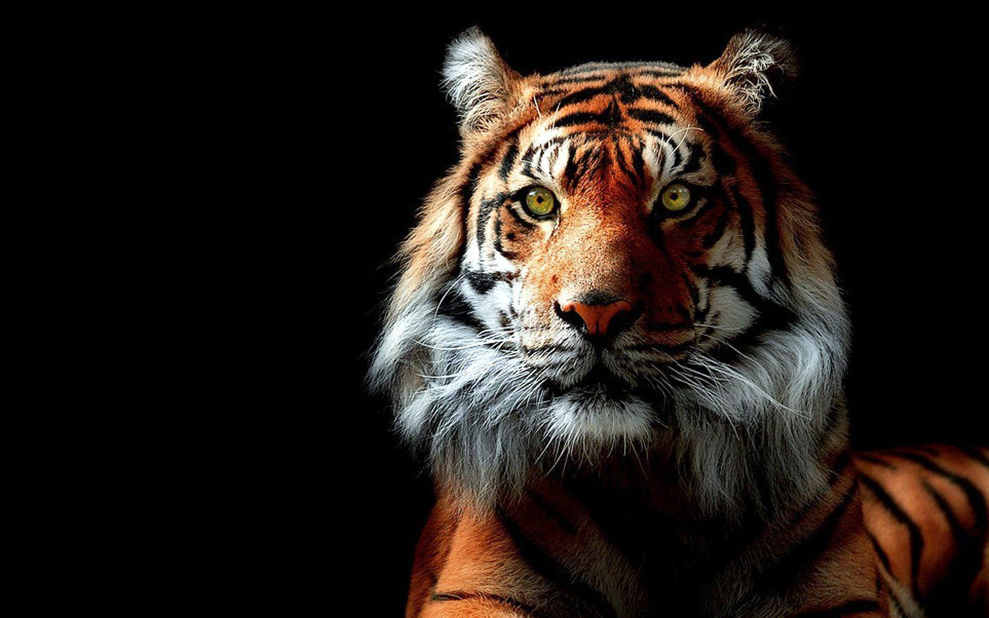 981 Tiger Wallpapers