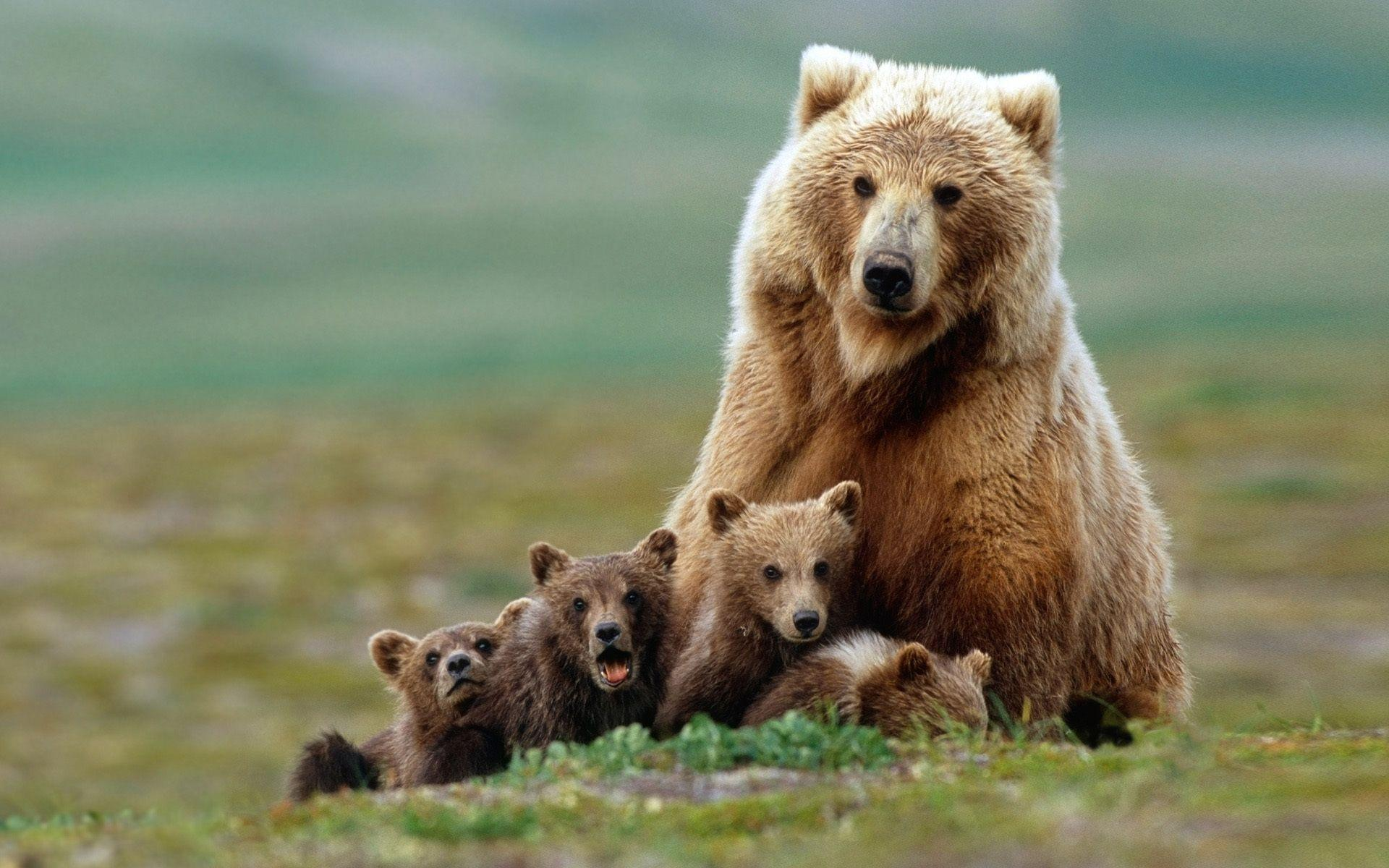 Animals For > Baby Grizzly Bear Wallpaper