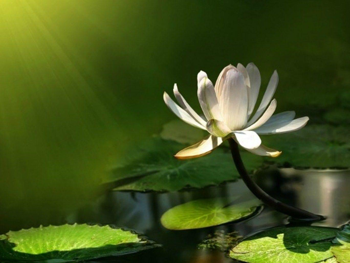 Lotus flower wallpapers wallpaper cave lotus flower desktop wallpapers lotus flower pictures cool izmirmasajfo