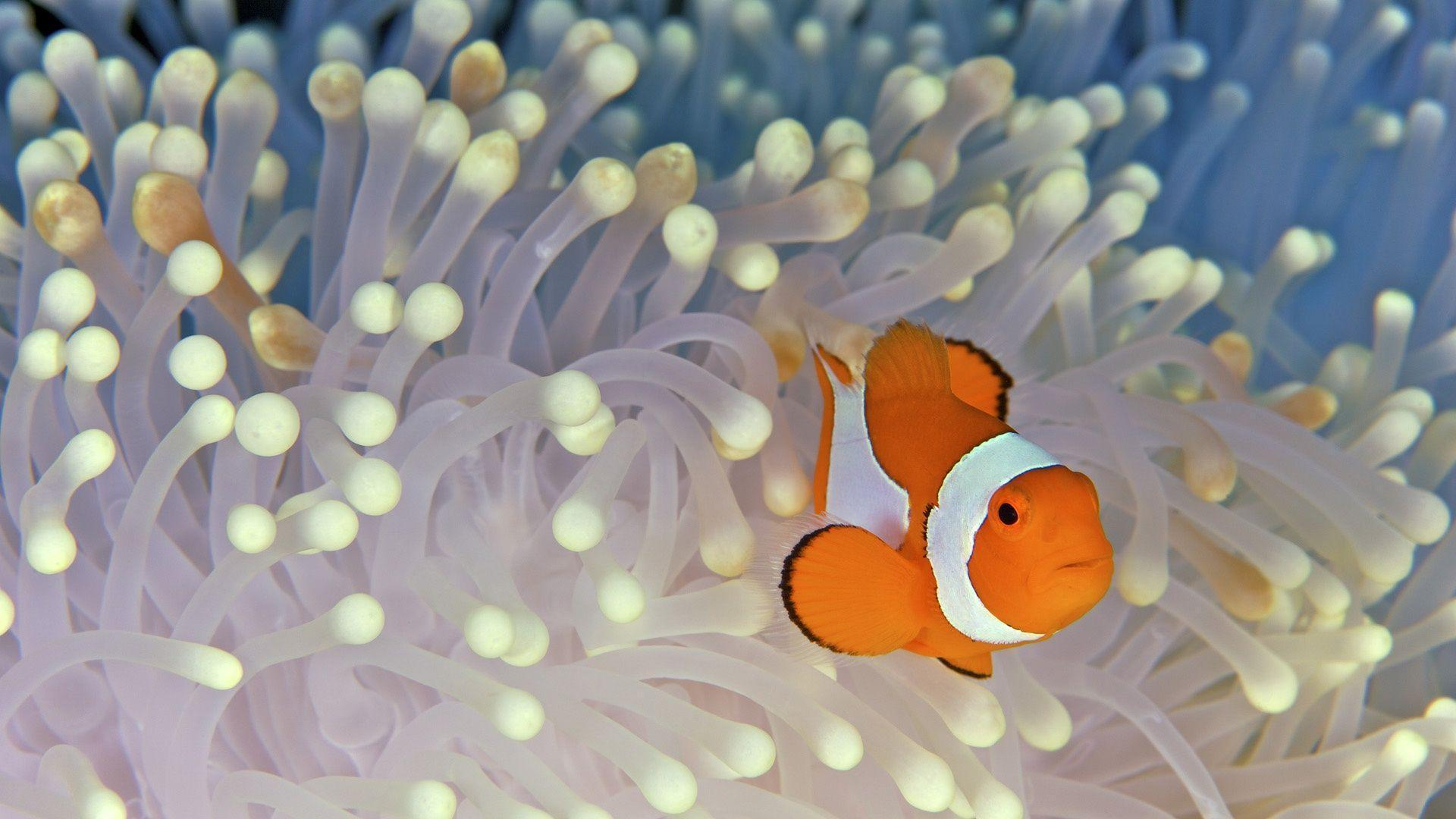 Wallpapers For > Clown Fish Desktop Wallpapers