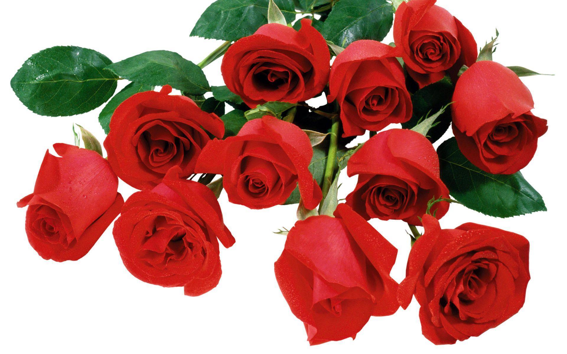 Beautiful Red Rose Flower Image HD Wallpaper 3836