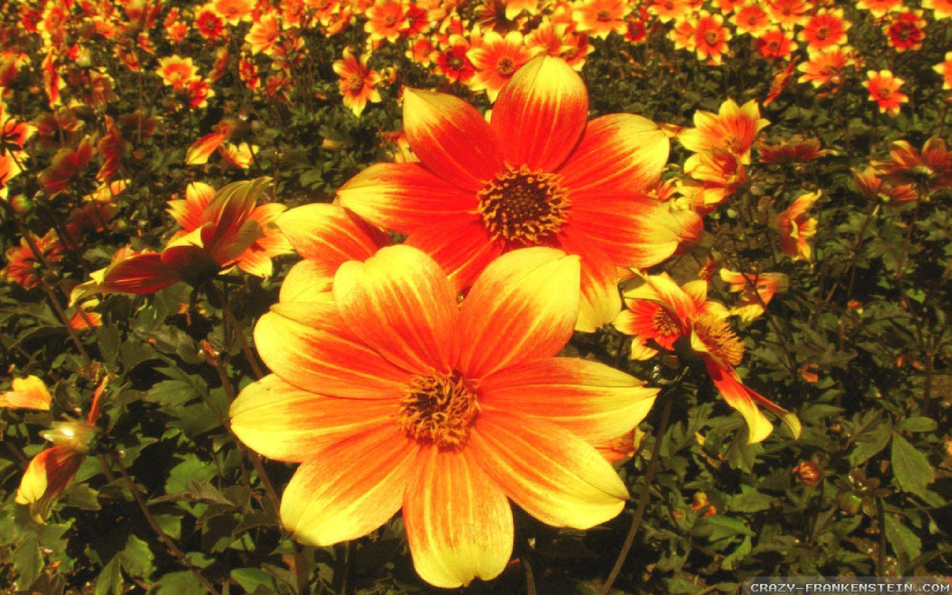 fall flowers wallpaper by - photo #9