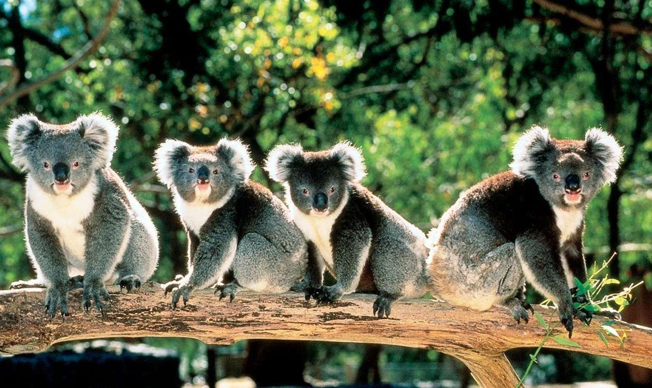 Cute Koala Bears in Trees Australia 1279×763 - High Definition ...