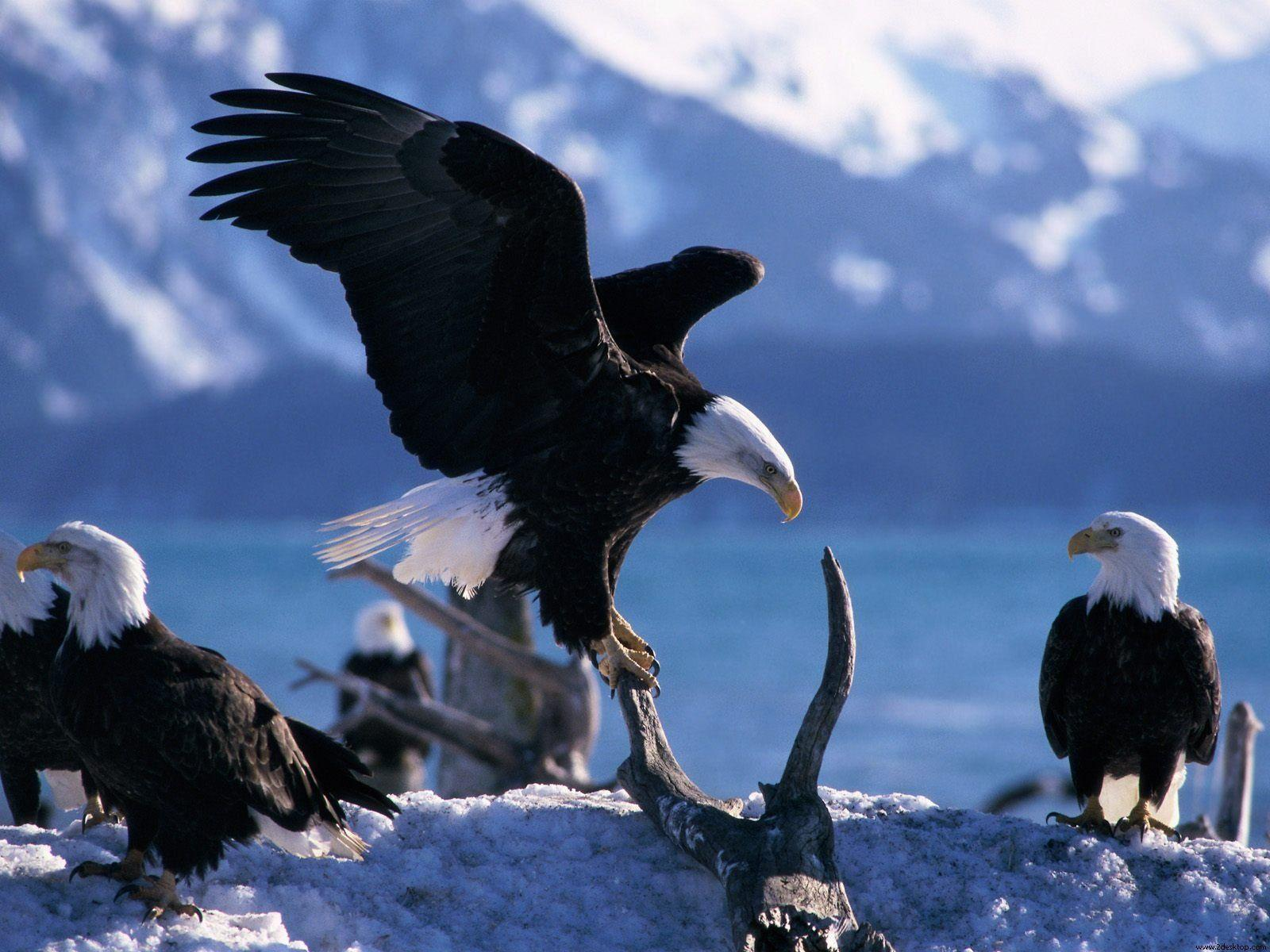 Animals : Pretty Animals Wings Extended Bald Eagles Desktop Image ...