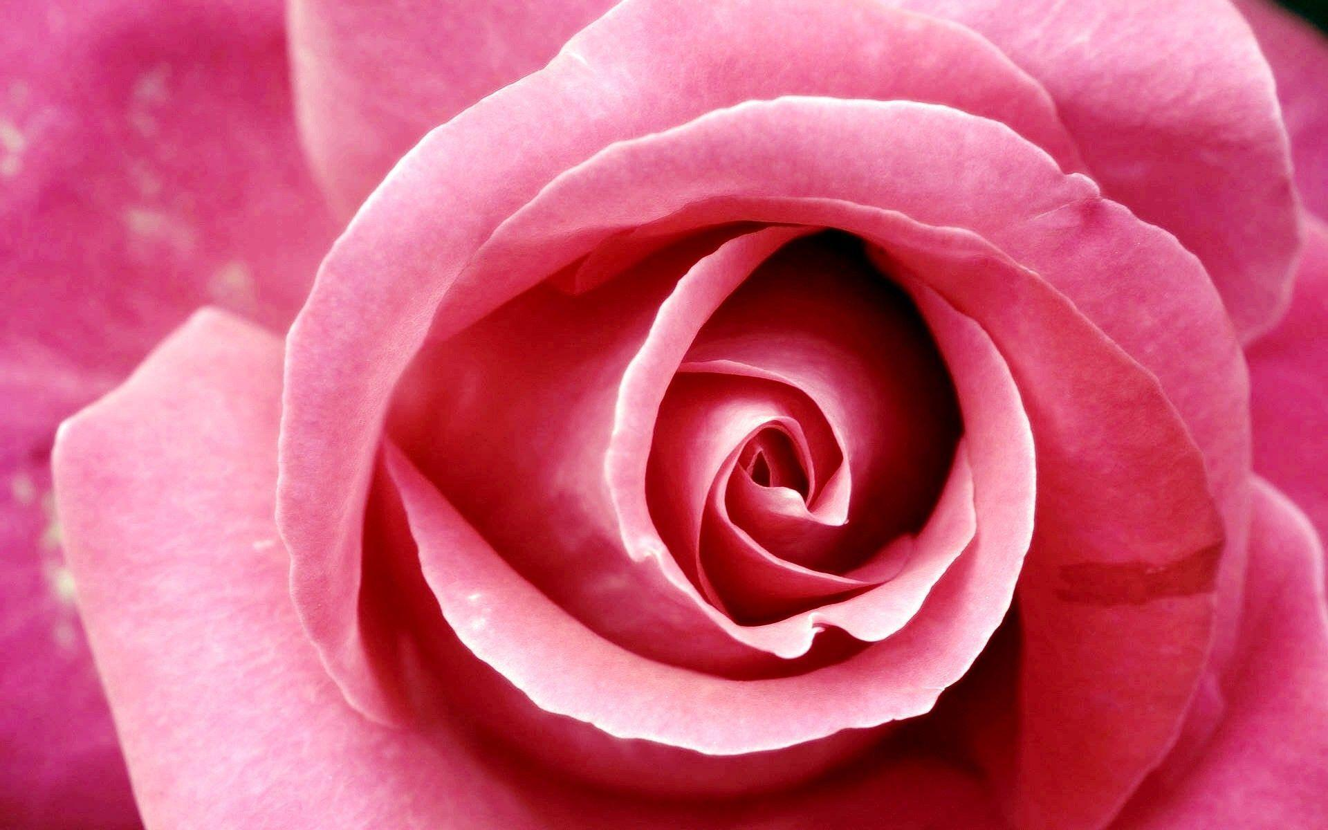 Beautiful Pink Roses Pictures Wallpaper Designs