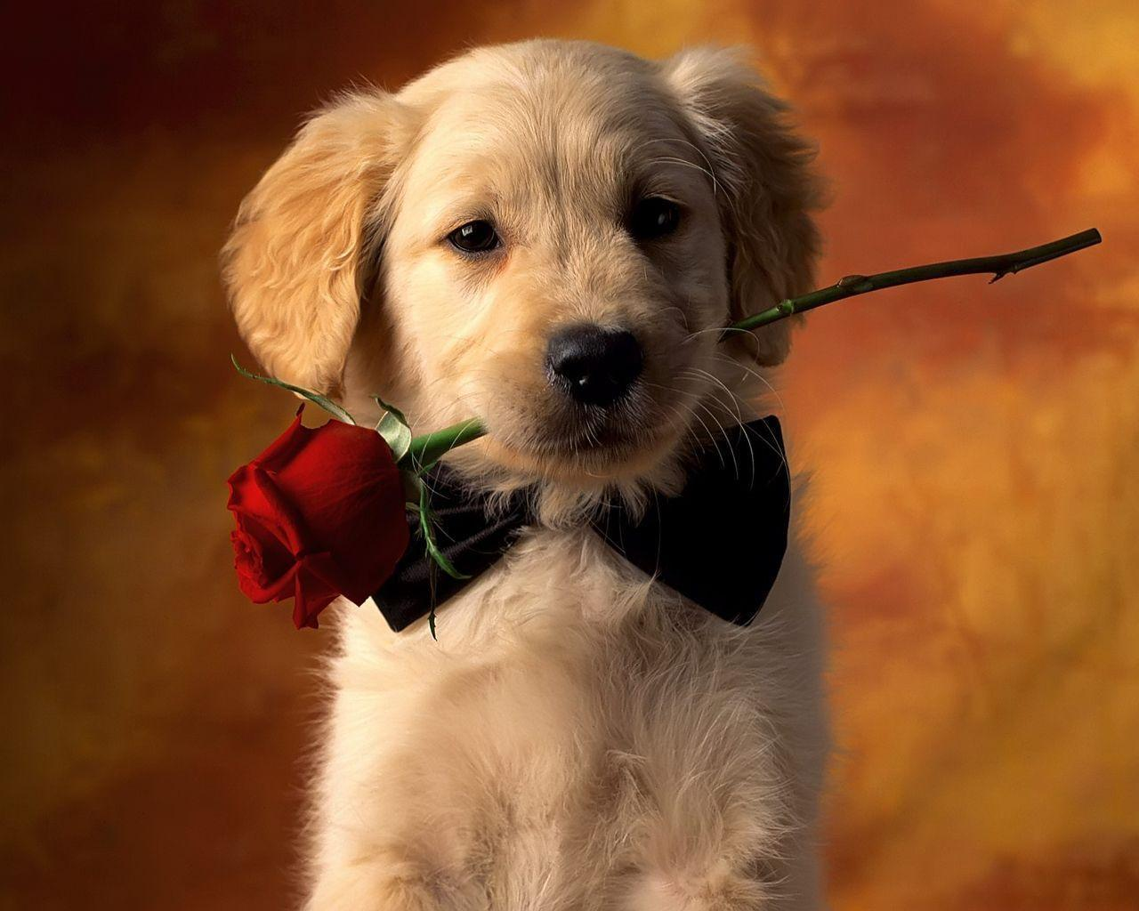 Small Dog And Red Rose Desktop Wallpapers