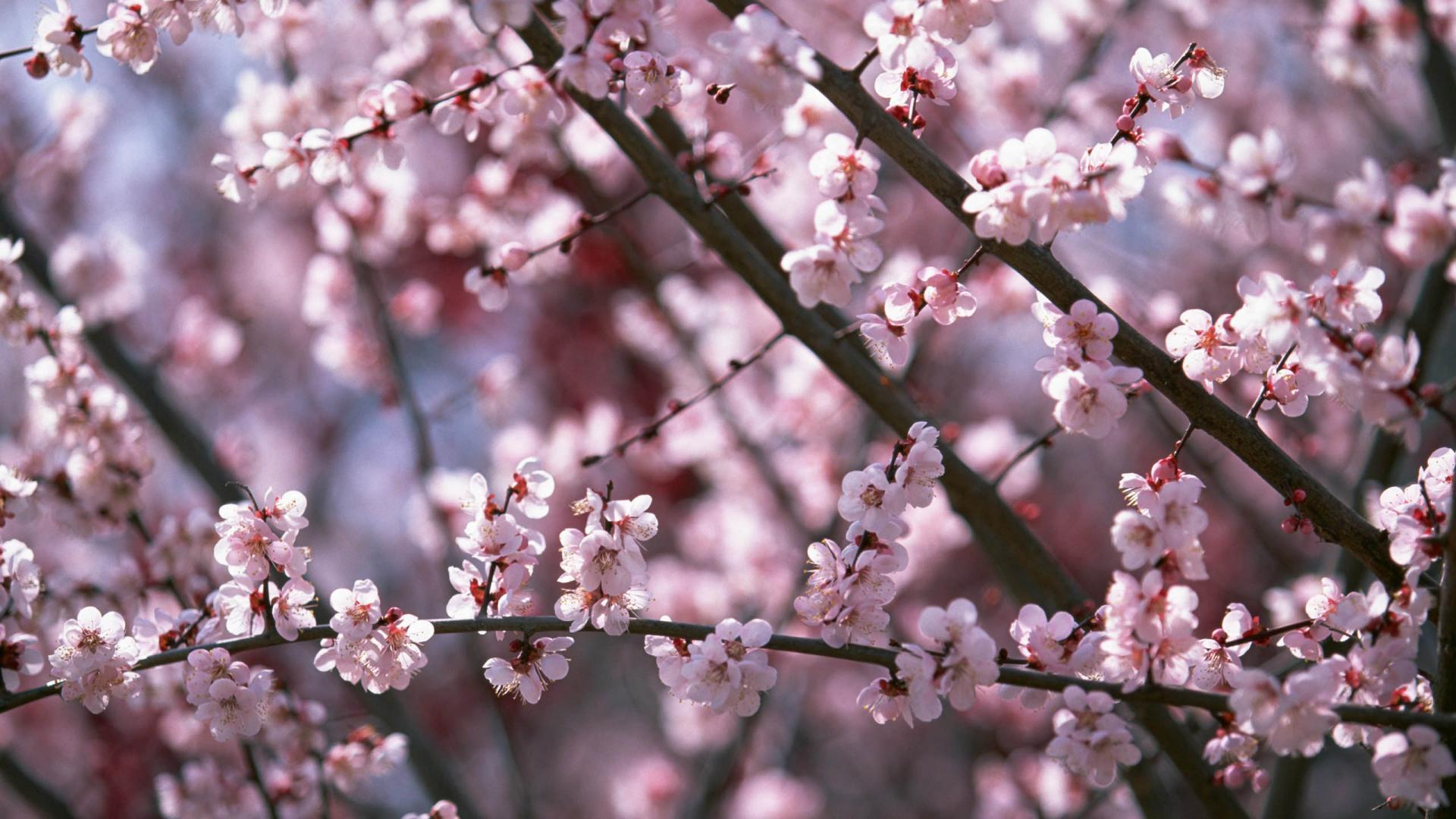 Sakura Flower Wallpapers Wallpaper Cave