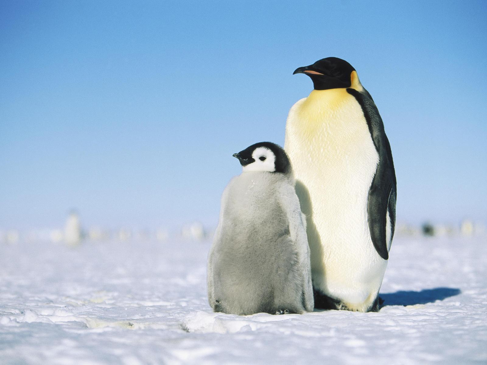 penguin wallpapers wallpaper cave