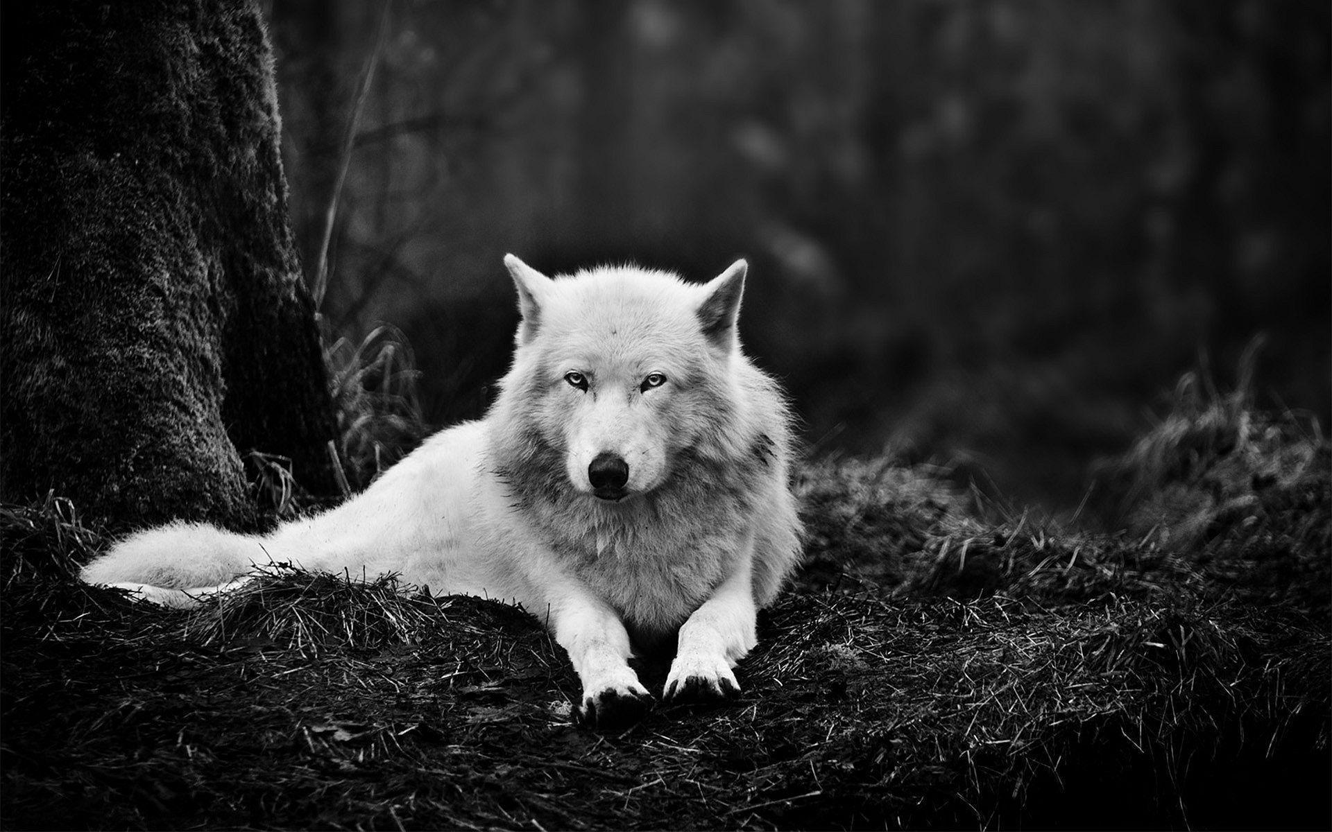 White Wolf Wallpapers