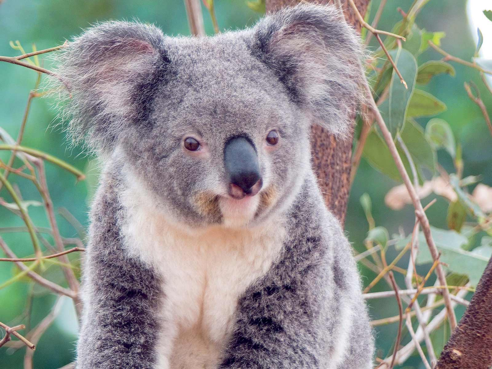 Wallpapers For > Koala Wallpaper Windows 7