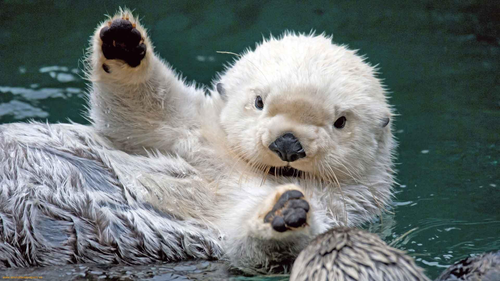 Sea Otter Desktop HD Wallpapers - HD Wallpapers Inn
