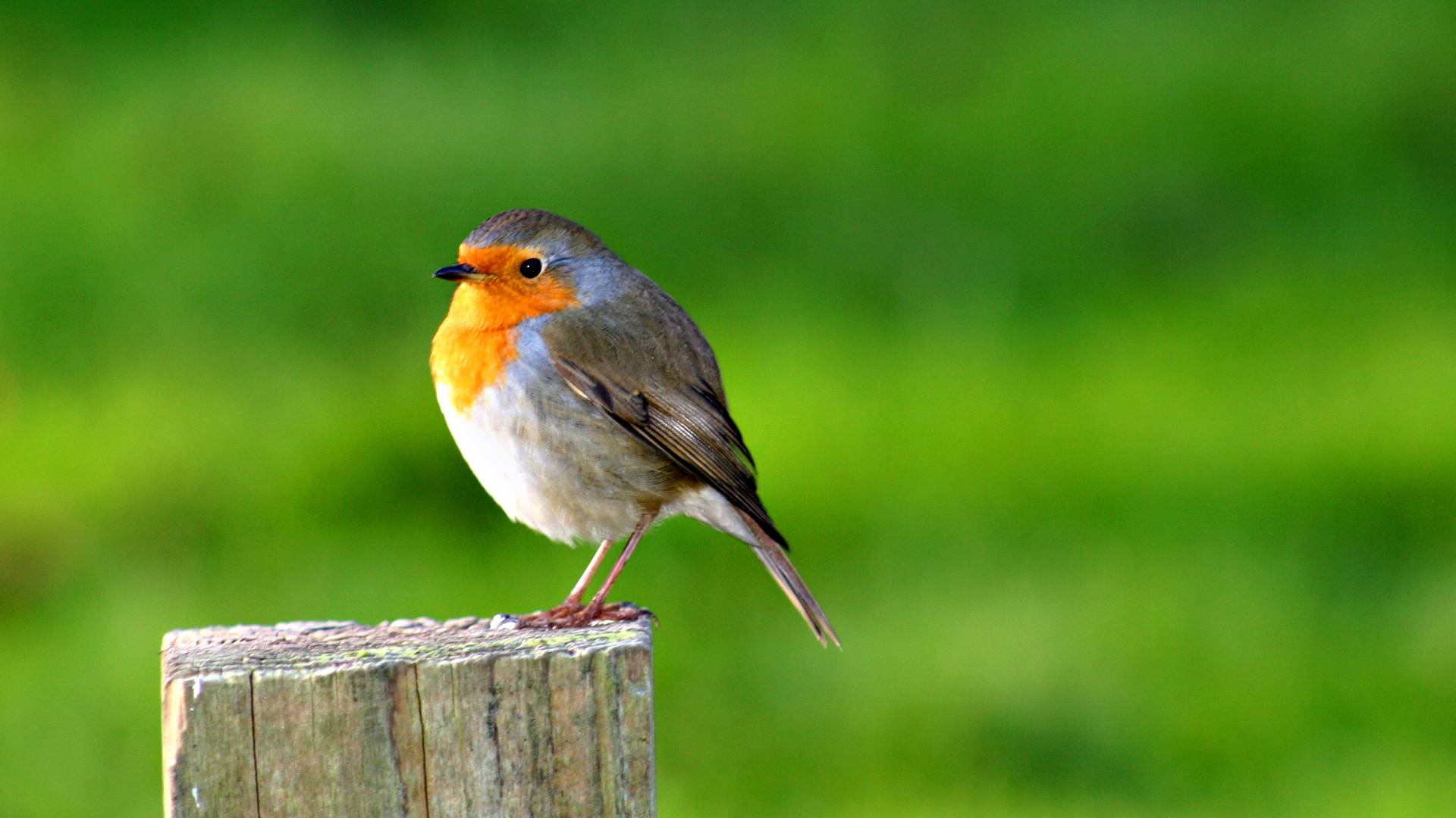 desktop wallpaper robin bird 800 x 448 285 kb jpeg