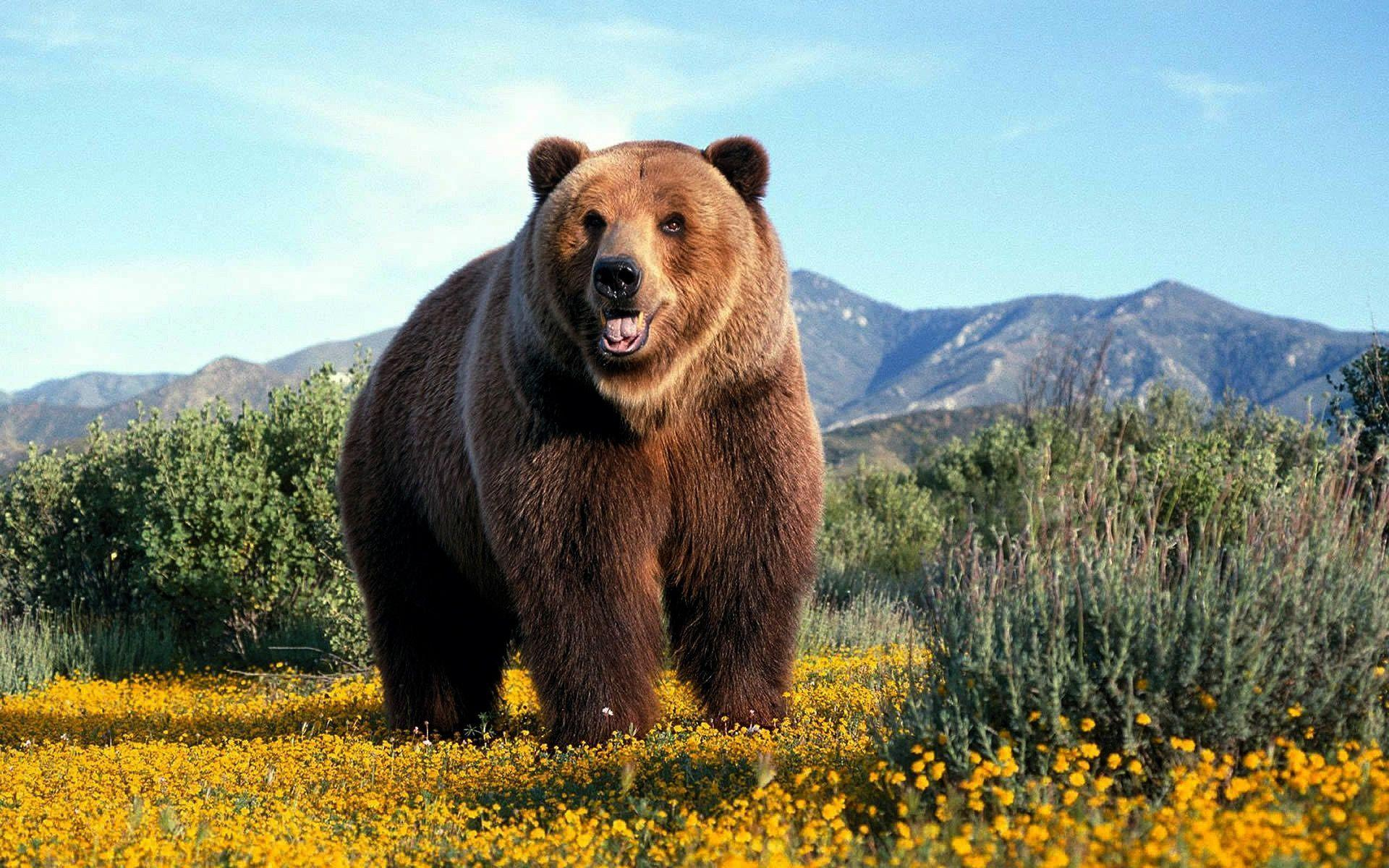 wallpaper title grizzly bear - photo #11