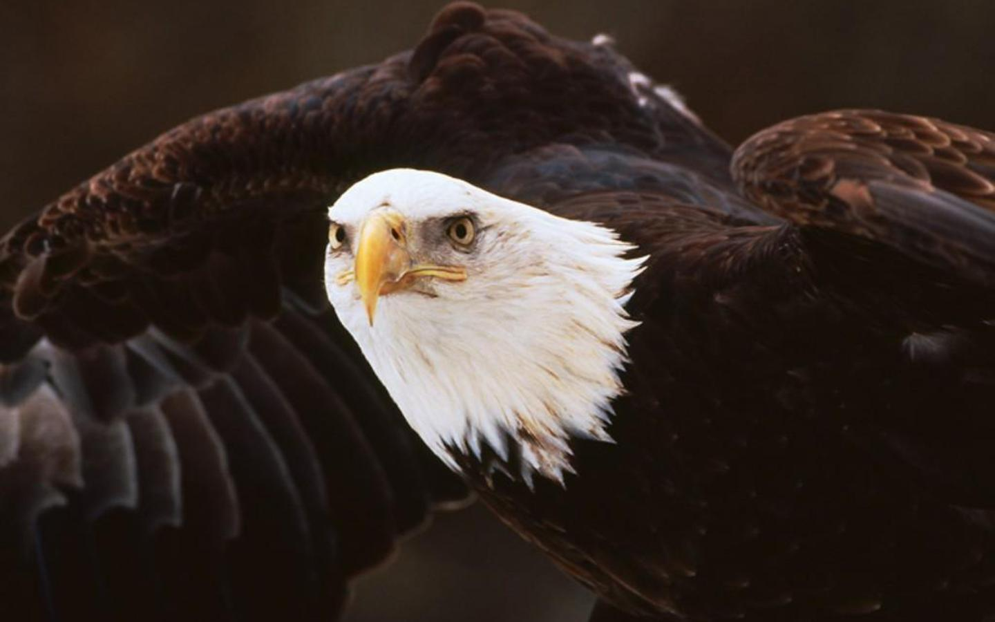 American Bald Eagle Wallpapers - Wallpaper Cave