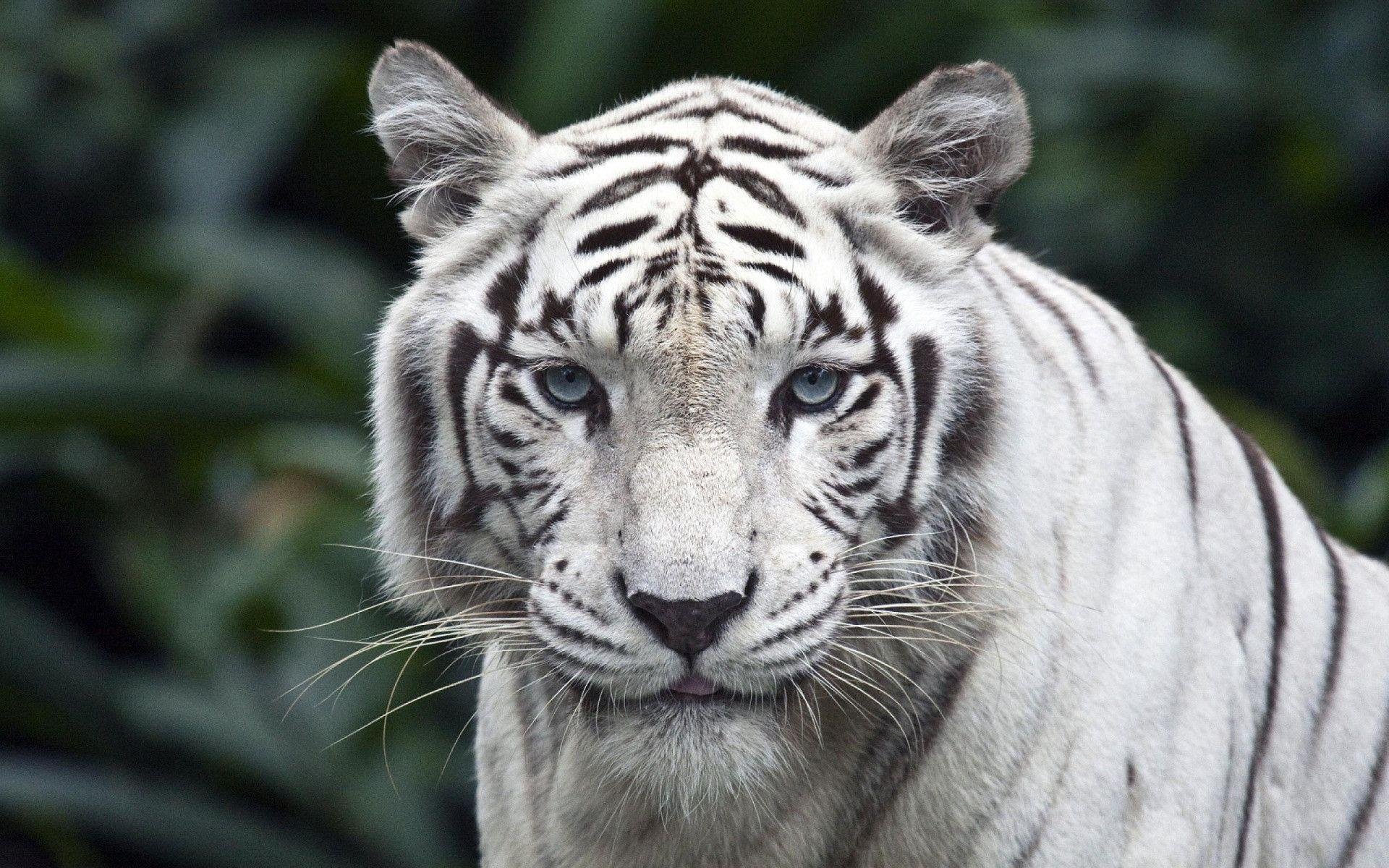 White Tiger Wallpapers - Wallpaper Cave