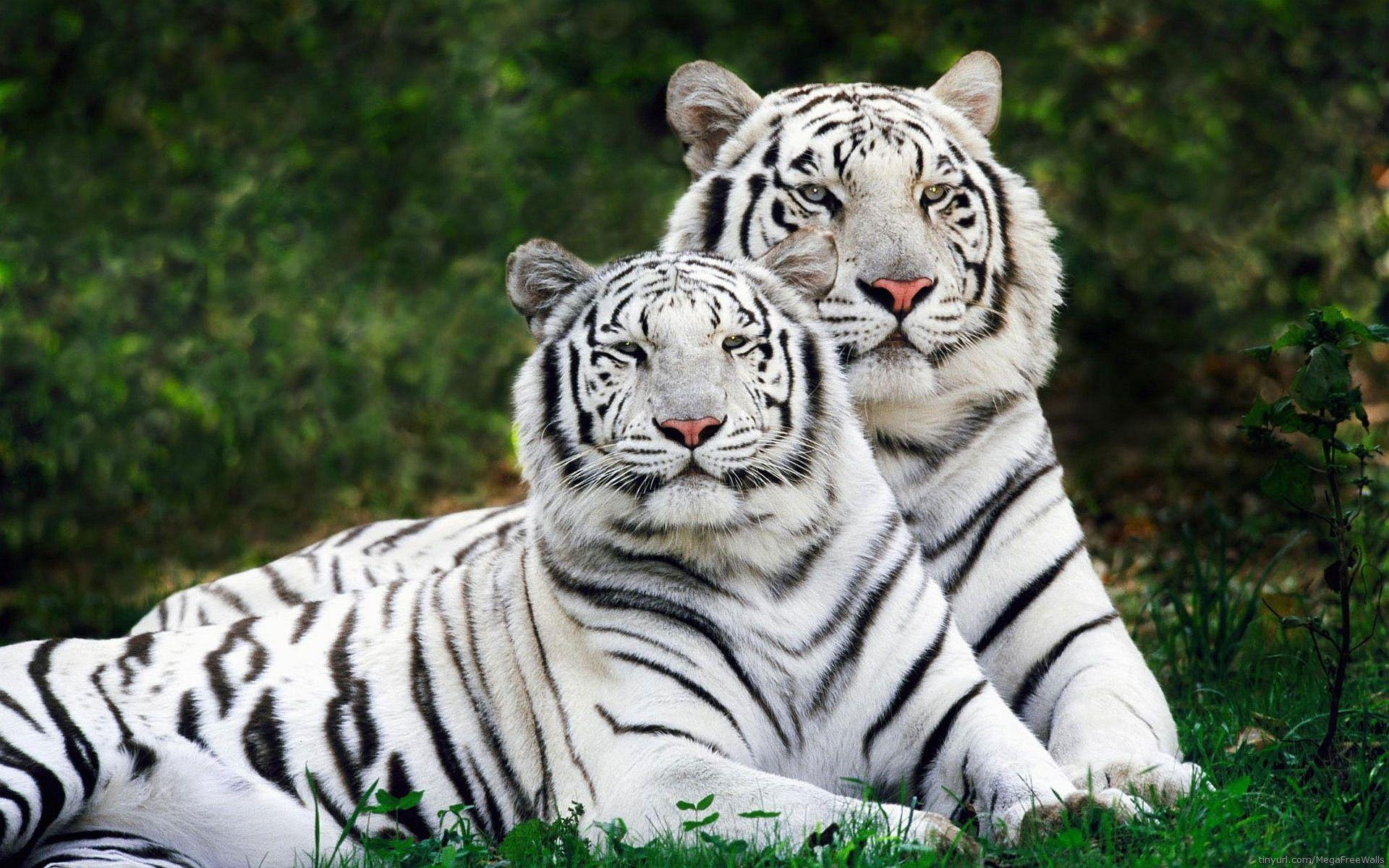 White Tiger HD Wallpapers Free Download