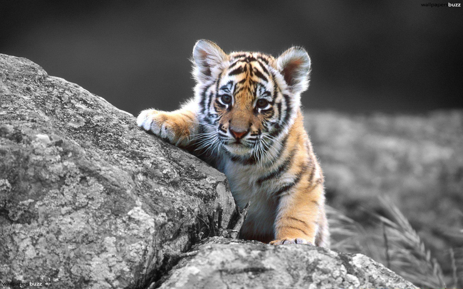 Wallpaper Iphone Black Baby Tiger