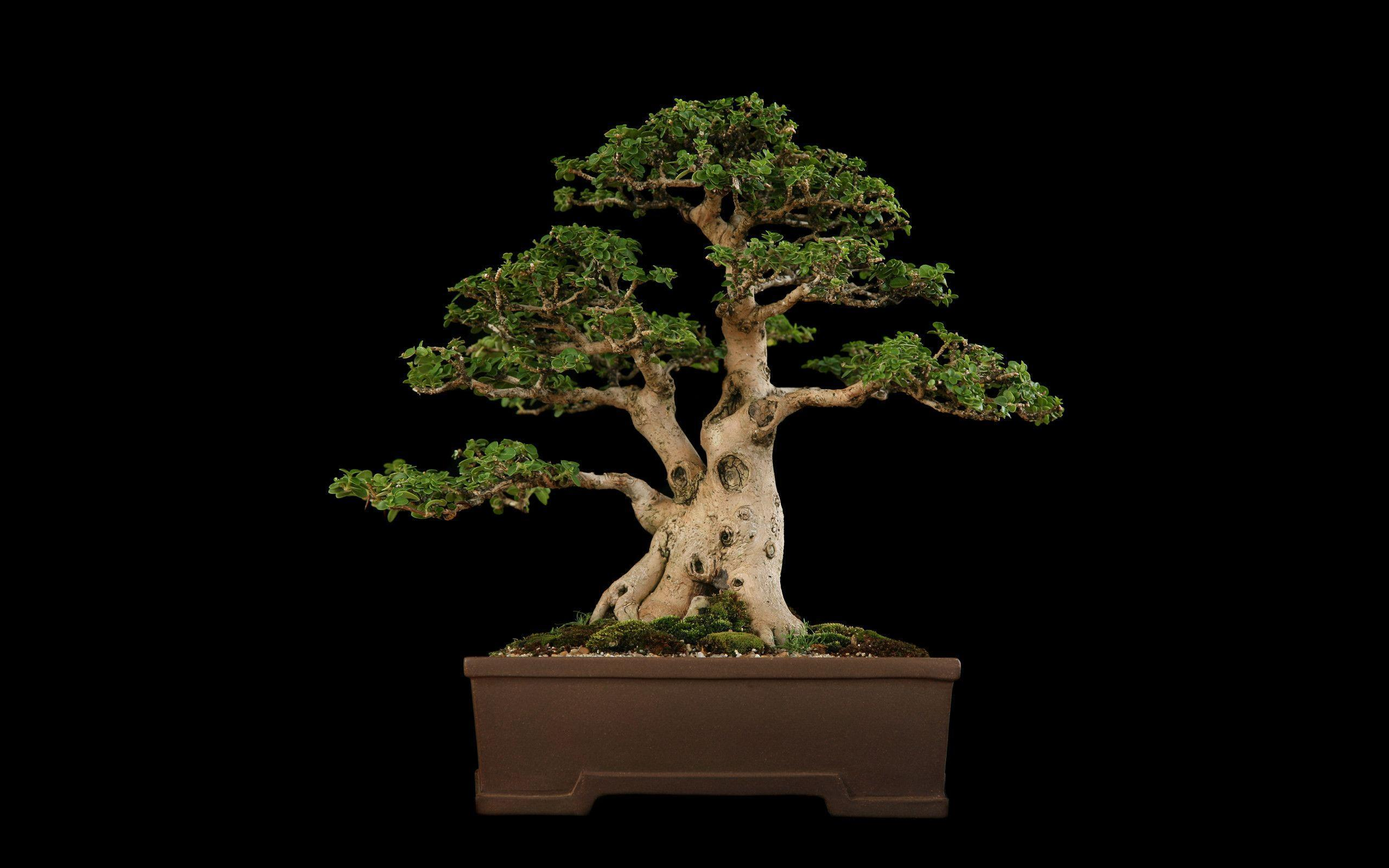 Tree Bonsai Tree Black f wallpaper | 2560x1600 | 67866 | WallpaperUP