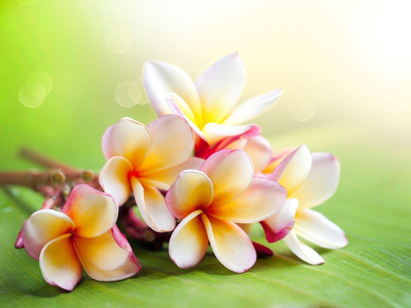 Hawaiian flower wallpapers wallpaper cave hawaii flower wallpaper 16328 full hd wallpaper desktop res izmirmasajfo